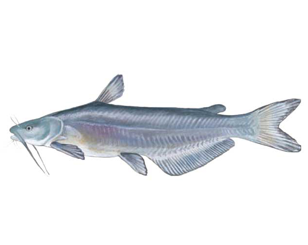 SCDNR - Fish - Species - Blue Catfish