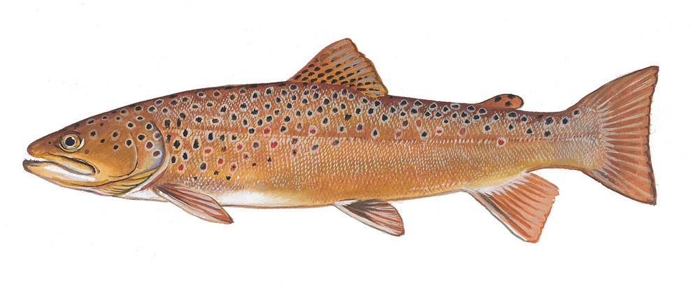 Scdnr Fish Species Brown Trout
