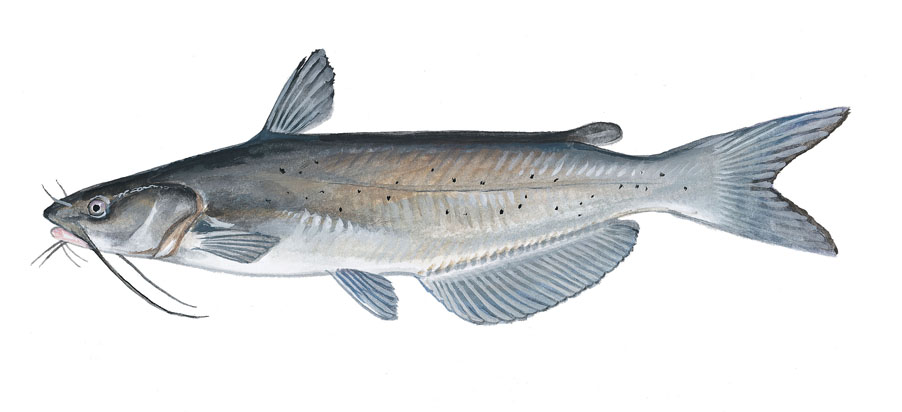 world record channel catfish fish
