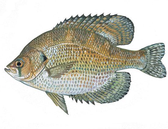 Scdnr fish species flier for South carolina fish species