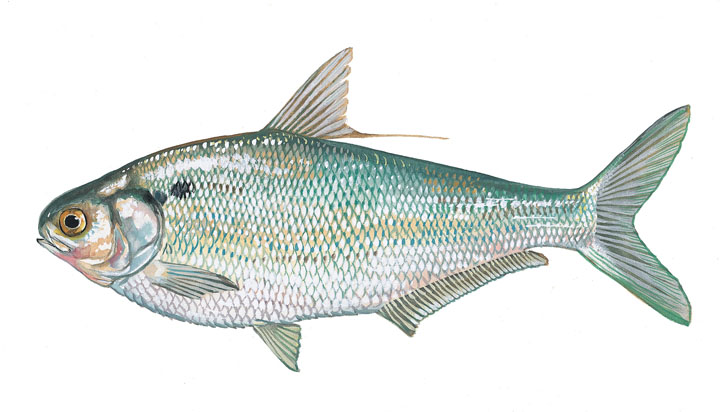 fresh bait analysis These five habitat types are considered to be the most important habitats for freshwater fisheries production and fishing following the distribution analysis.