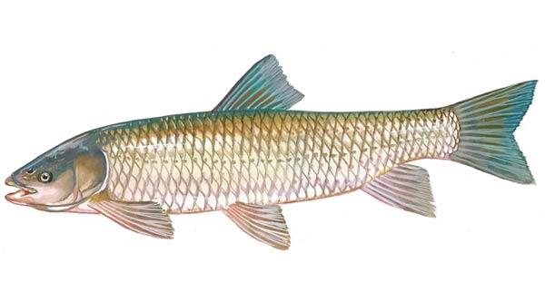 Scdnr fish species grass carp or white amur for White amur fish
