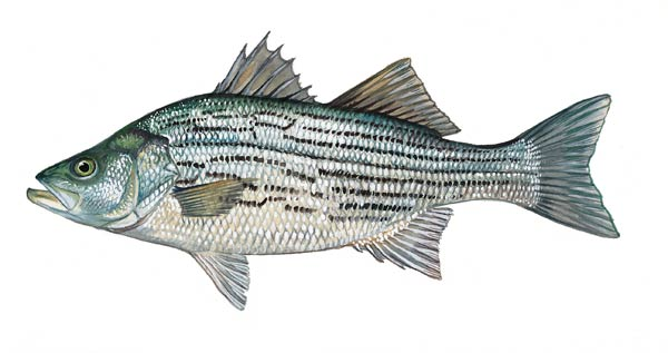 SCDNR - Fish - Species - Largemouth bass