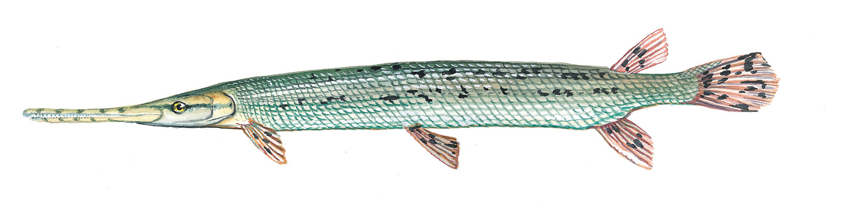 Image gallery long fish for How long is fish good for