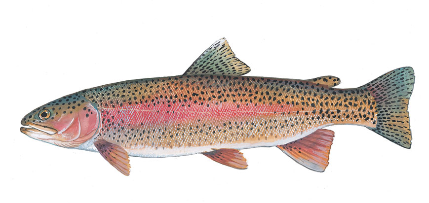 Scdnr fish species rainbow trout for How to fish for rainbow trout
