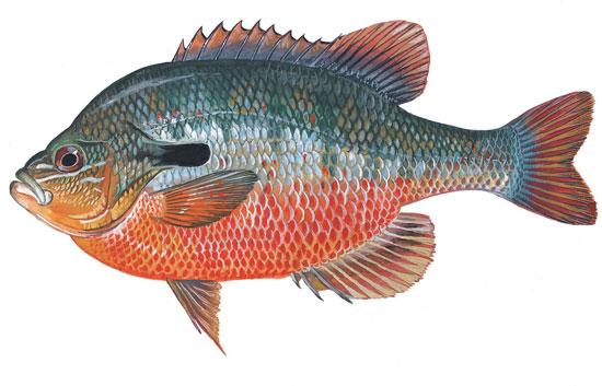 Scdnr fish species redbreast sunfish for South carolina fish species