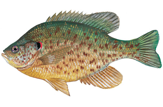 Redear Sunfish - Click to enlarge photo