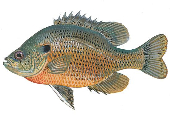 Scdnr Fish Species Spotted Sunfish