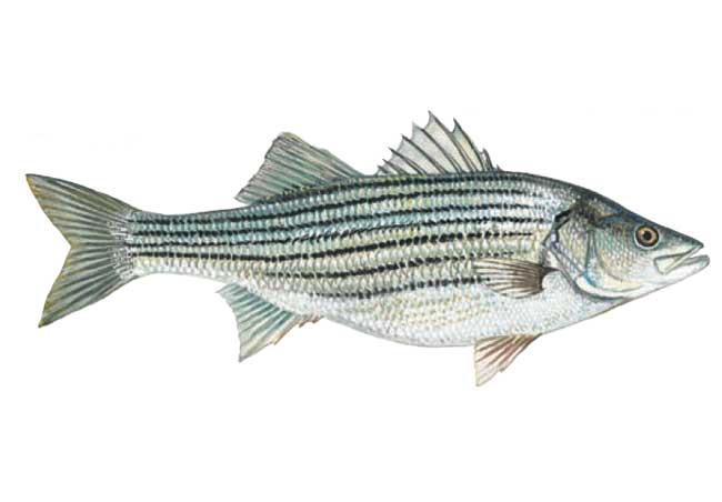 North Carolina Fish Size Regulations http://www.dnr.sc.gov/fish/species/stripedbass.html