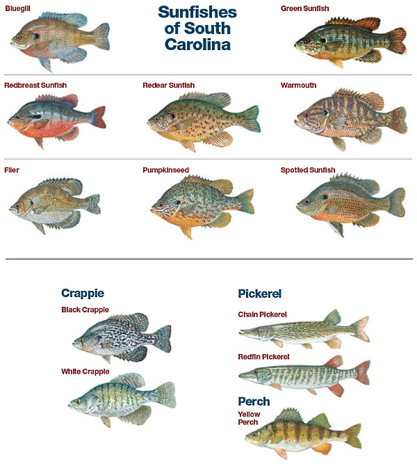 Scdnr bream sunfish crappie yellow perch pickerel for Texas freshwater fishing license