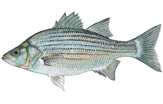 White Bass SCDNR - Fish - Species...