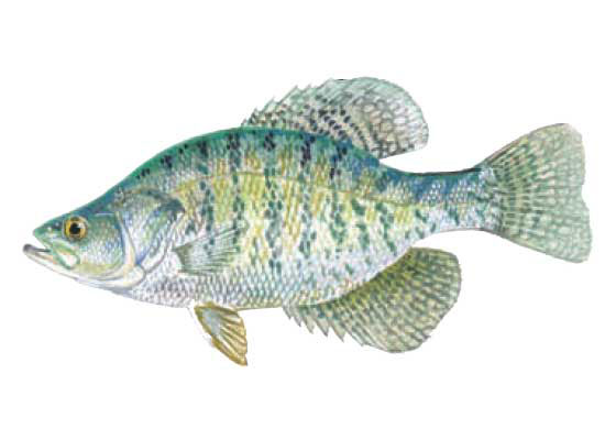 White crappie fish images galleries for What is a crappie fish