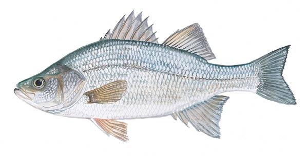 White perch fish for Scdnr fishing report