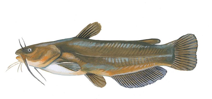 Scdnr fish species yellow bullhead for South carolina fish species