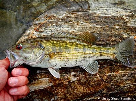 Scdnr redeye bass for South carolina fish species