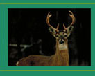 Male White Tailed Deer