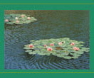 Picture of Pond Lilies