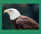 Bald Eagle image