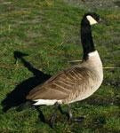 Aves acuáticas (Aves migratorias) - Canada Goose
