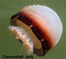 SCDNR - Jelly fish