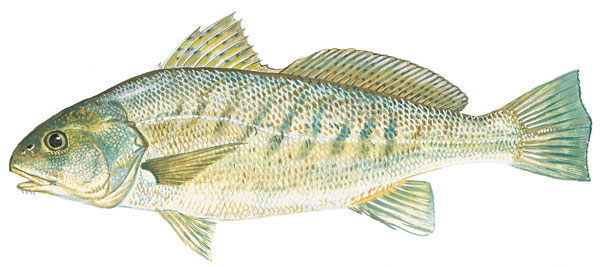 Scdnr marine species atlantic croaker for What is a croaker fish
