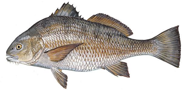Scdnr marine species atlantic spadefish for Sc fishing license age