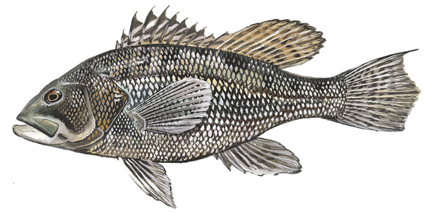 Scdnr marine species black sea bass for Sc saltwater fish