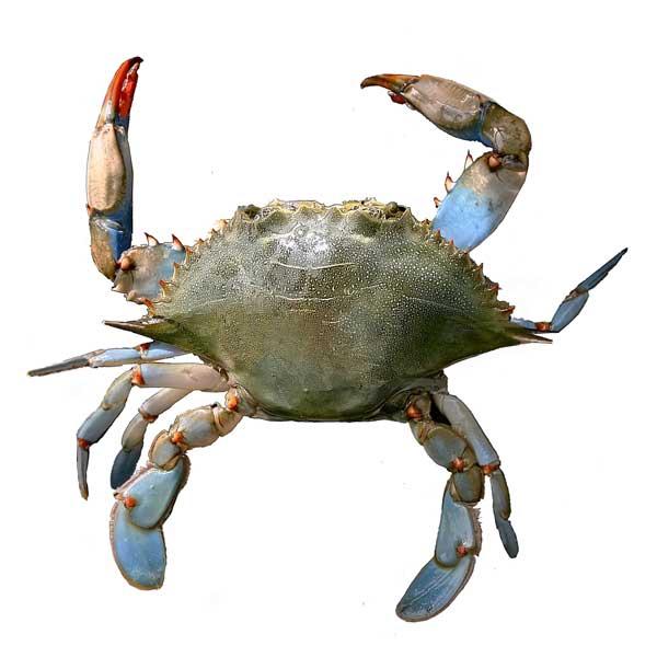 Scdnr marine species blue crab for Sc fishing license age