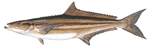 Scdnr marine species cobia for Sc saltwater fish