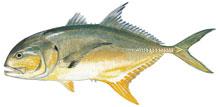 Scdnr marine species jack crevalle for South carolina saltwater fish species