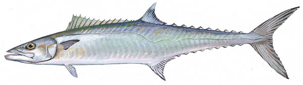 Scdnr marine species king mackerel for Sc saltwater fish