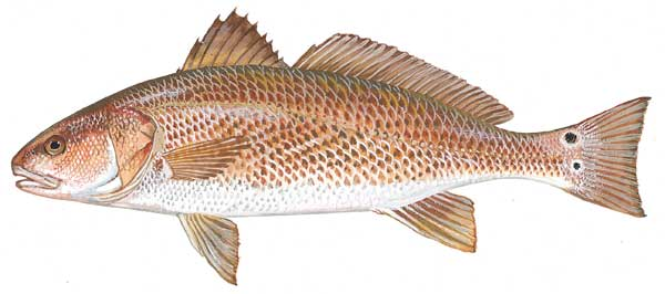 How did you decide on your tail color design for Saltwater drum fish