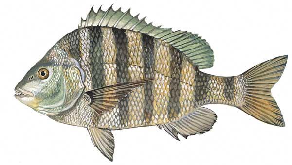Scdnr marine species sheepshead for Sc fishing license age