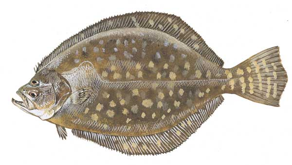 Image gallery southern flounder for Flounder fishing galveston