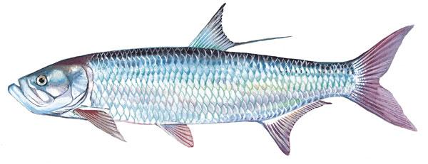 Scdnr marine species tarpon for Sc fishing license age