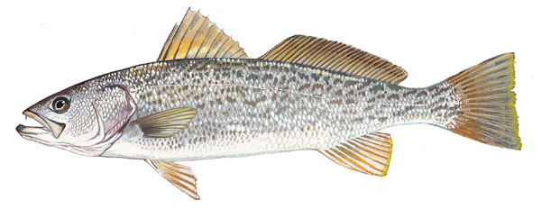 Scdnr marine species weakfish for Sc saltwater fish
