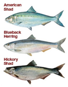 Shad and Herring species in SC