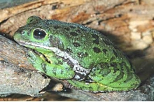 Barkingtreefrog