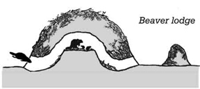 Beaver lodge diagram - photo#14