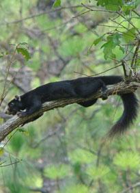 N.c. Squirrel Season SCDNR - Mammal - Speci...