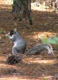 Grey fox squirrel - photo#28