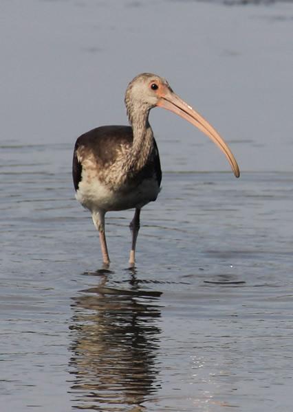 Scdnr Wading Birds