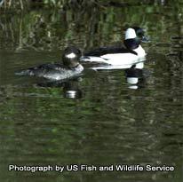 Scdnr waterfowl species bufflehead for Scdnr fishing license
