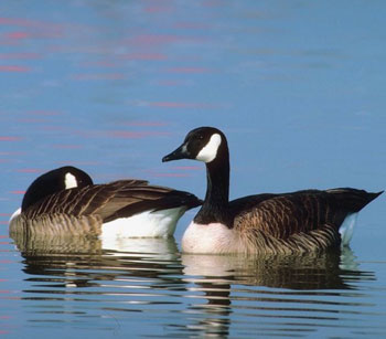 is it illegal to kill a canada goose